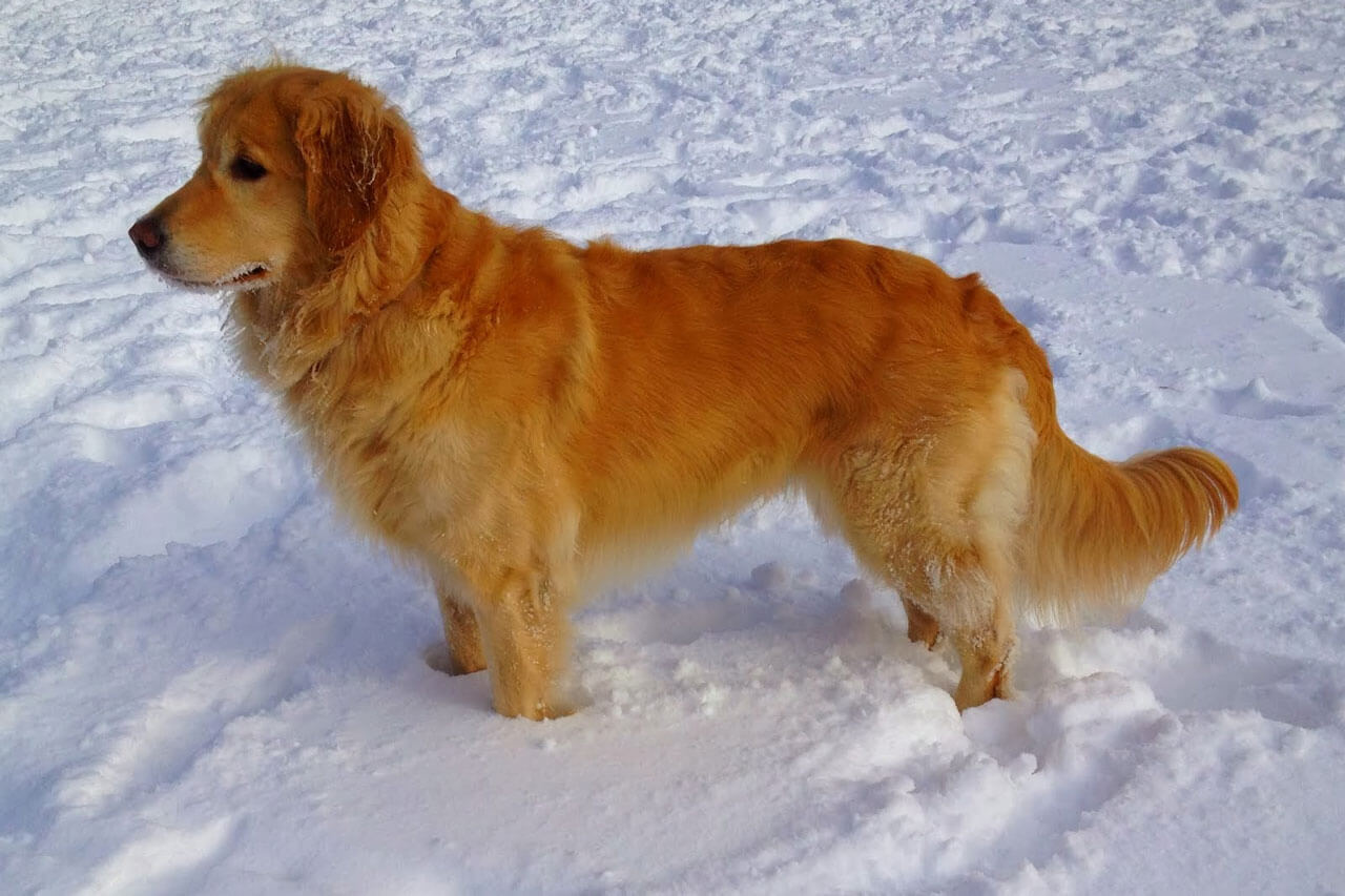 Photo of a Golden Retriever Dog