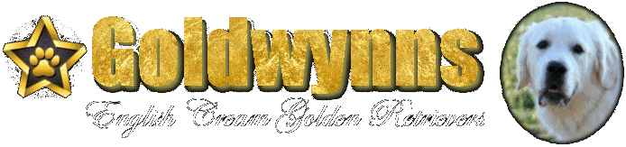 Now Come Across Highly Socialized English Golden Retriever Puppies Only With GoldWynns!