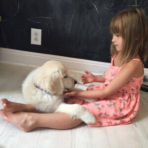 english cream golden retriever puppies with a girl
