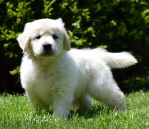 Get English Cream Golden Retriever Puppies From Reputable And Genuine Breeders