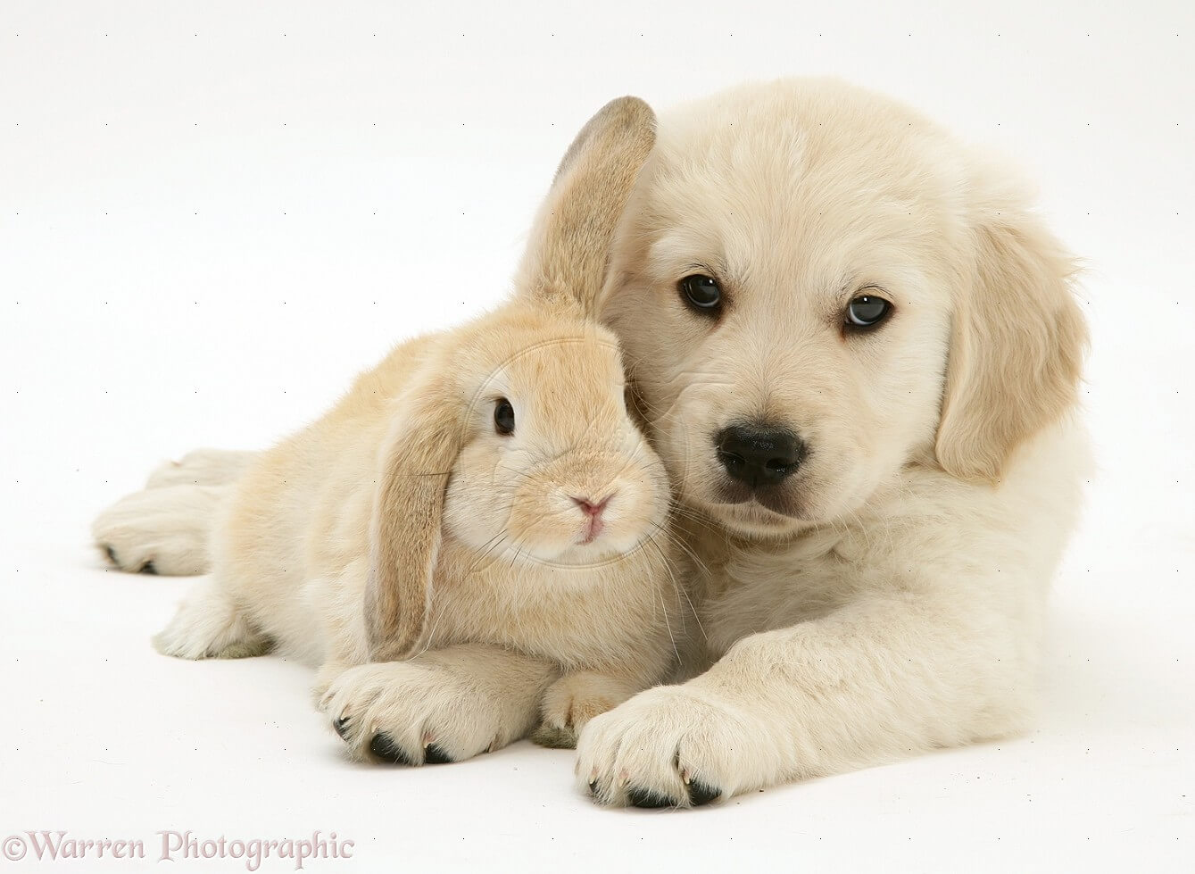 english cream golden retriever puppies with friend rabbit in florida