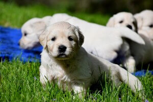 english golden retriever puppies staring at camera
