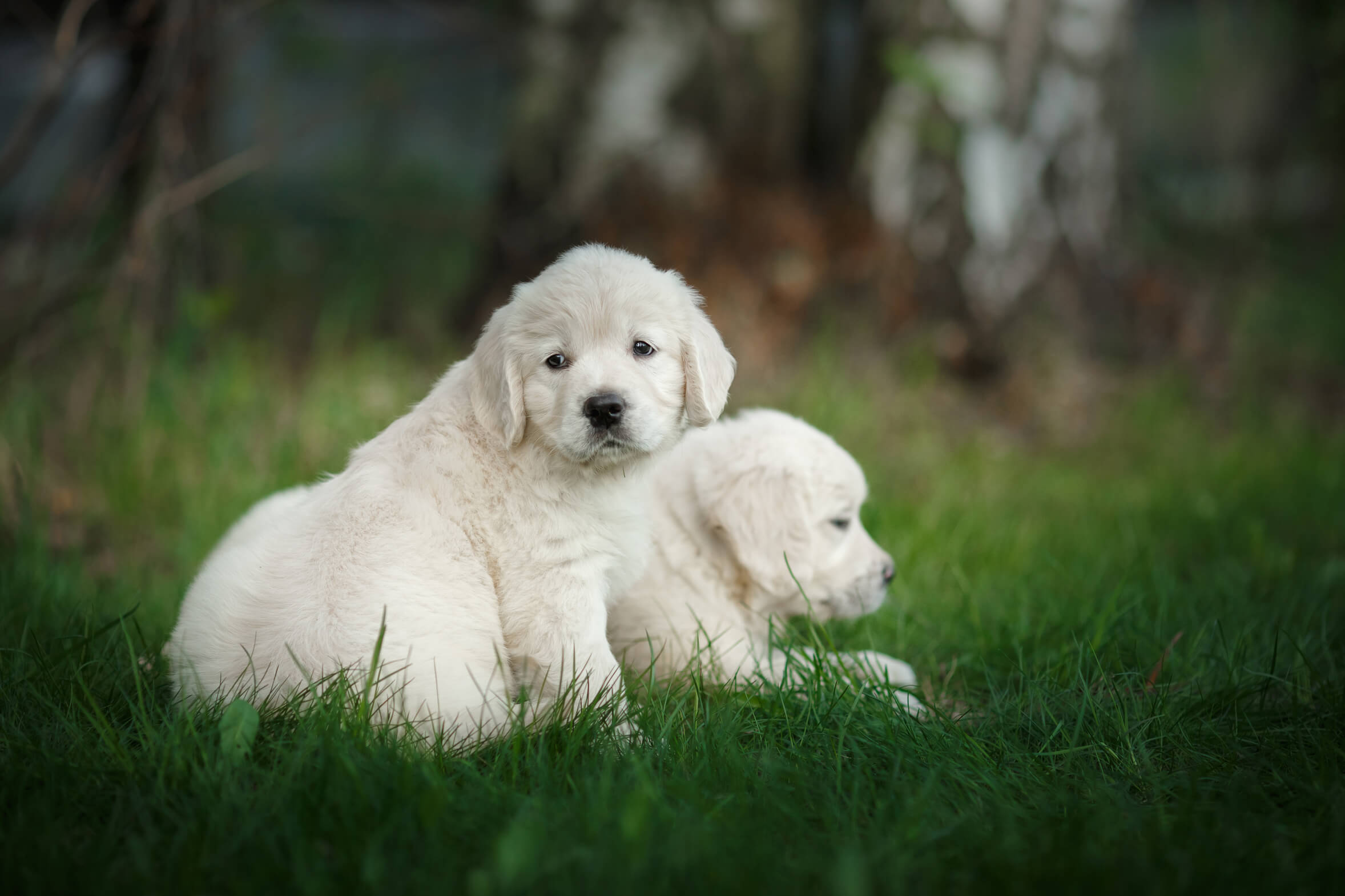 english golden retriever puppies in grass