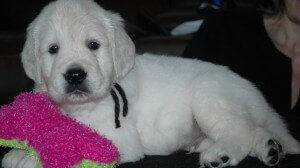english cream golden retriever puppies playing with toy
