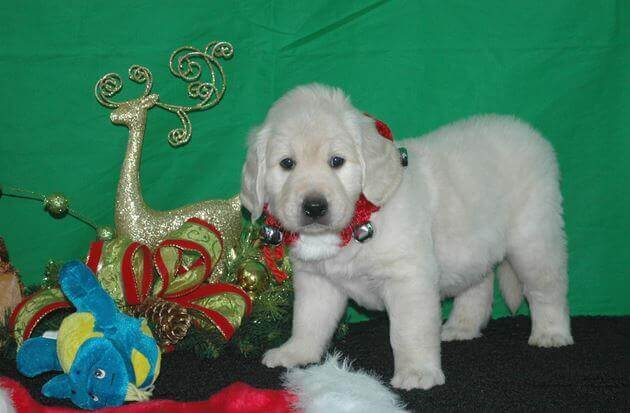 english golden retriever puppies at christmas