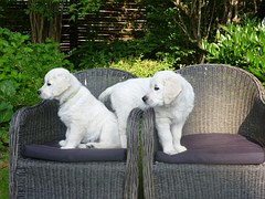 white golden retriever puppies playing on chairs