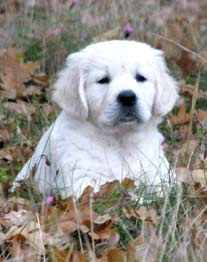 white golden retriever puppies hiding in the grass