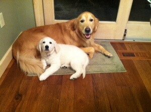 white golden retriever and best friend