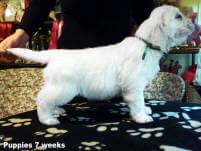 Traveller as 8 Week pup