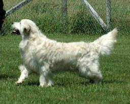 Golden Retriever Hip Dysplasia and Other Health Issues