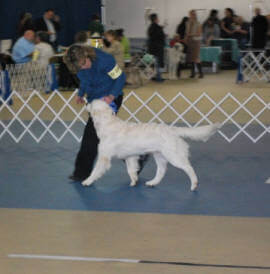 Showing my English Golden Retriever Male