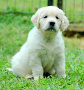 english cream golden retriever puppies sitting in grass