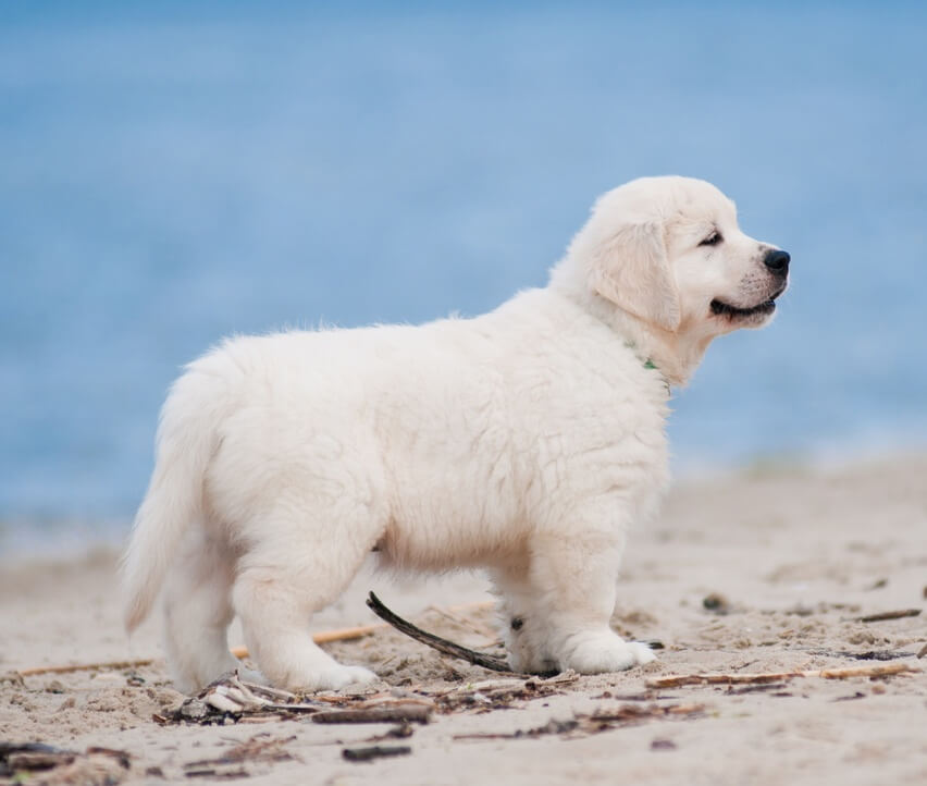 white golden retriever puppies at the beach
