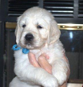 English Cream Golden Retriever Puppies in Nevada - Meet Stella