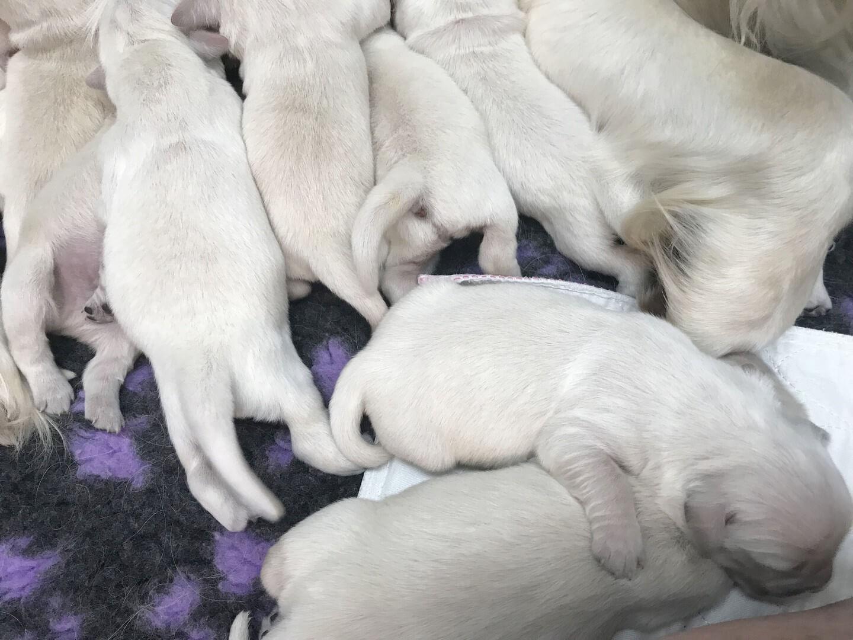 English Cream Golden Retriever litter of puppies