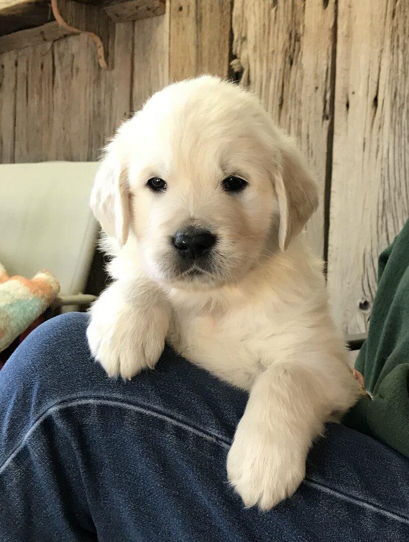 English Cream Golden Retriever Puppy girl