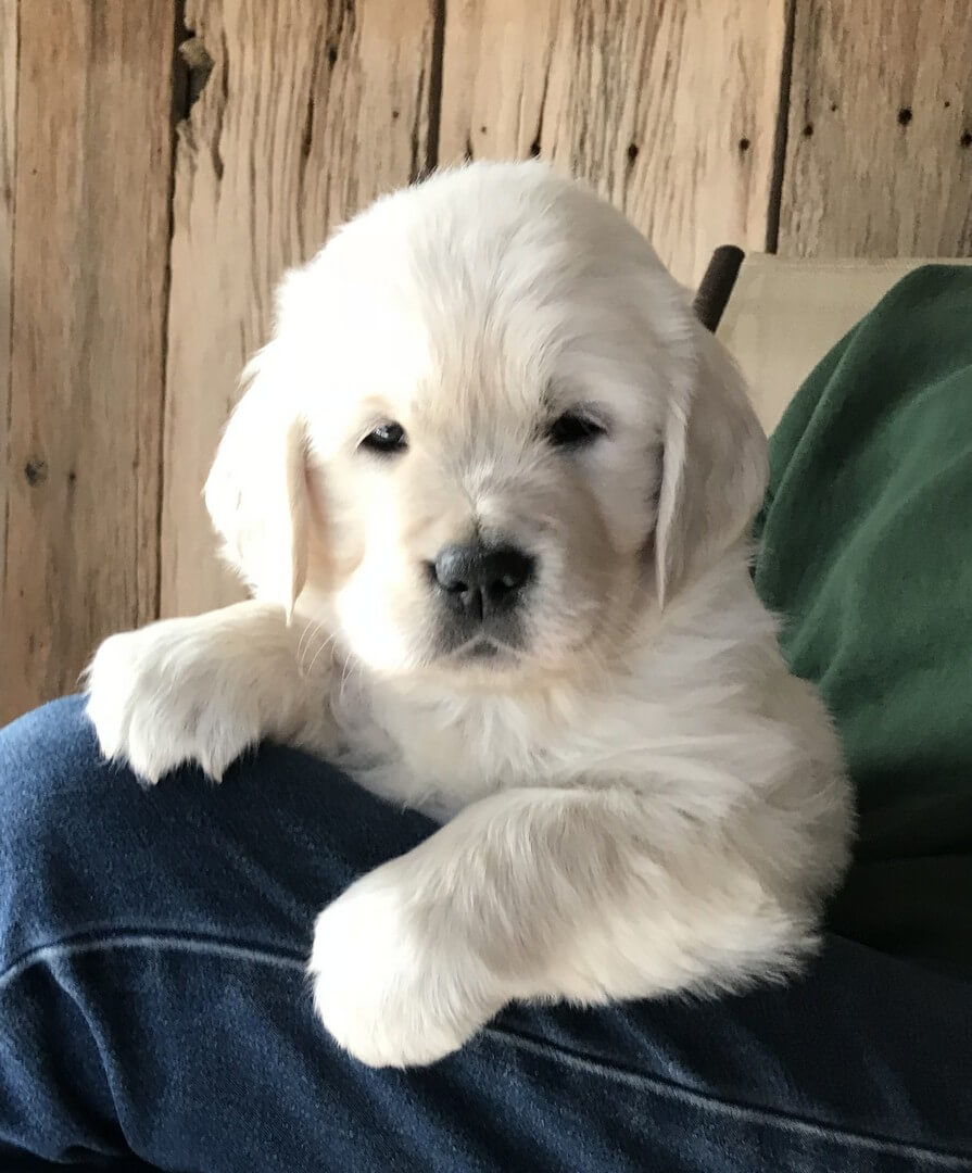 English Cream Golden Retriever Puppy Boy