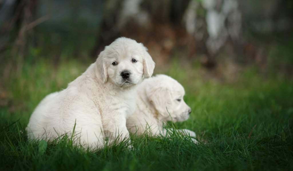 English Cream Golden Retriever Puppies for sale | Goldwynns