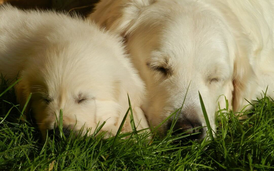American & English Cream Golden Retriever  – How Can You Tell Them Apart?